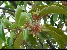 pohon benalu