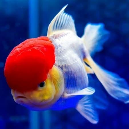 5+ Cara Ternak Ikan Koki Oranda, Wajib Tahu
